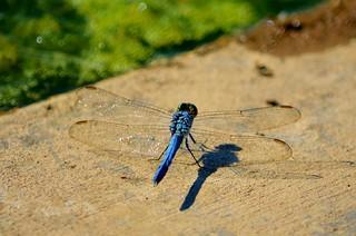 Dragon Fly Resting | by raowen