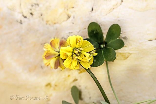 Trébol.( oxalis flor multiples hojas pes-caprae