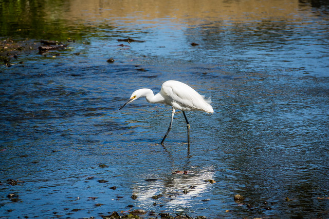 Snowy Egret In Los Gatos Creek #2