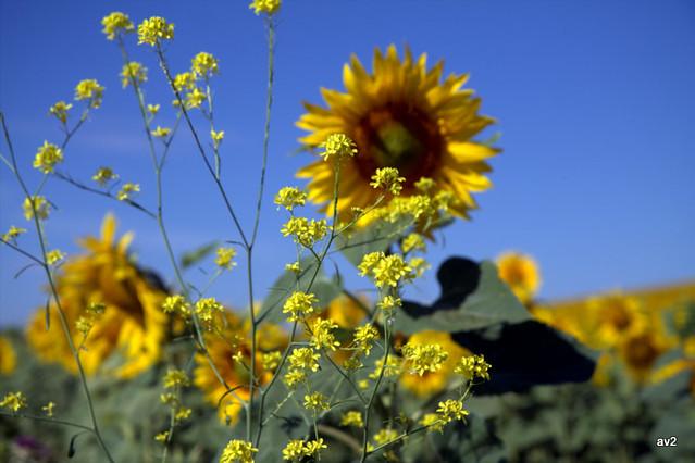 .Campo amarillo