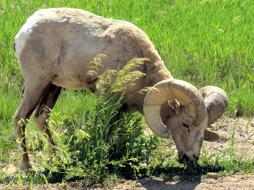 Bighorn ram natural 20160618