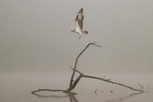 nature birds fog texas wildlife birding pasadena osprey armandbayou kayakphotography top20texas gseloff galvestonbayestuary