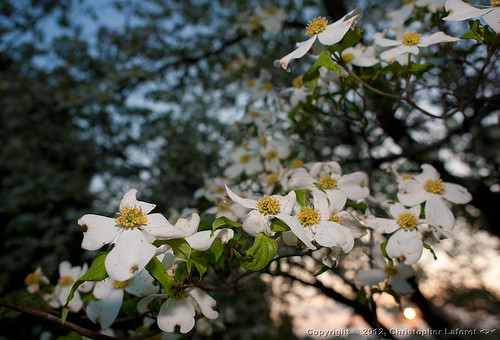 flowers white morninglight dogwood dogwoods nikond700