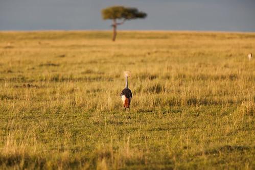 kenya safari goldenhour masaimara greycrownedcrane
