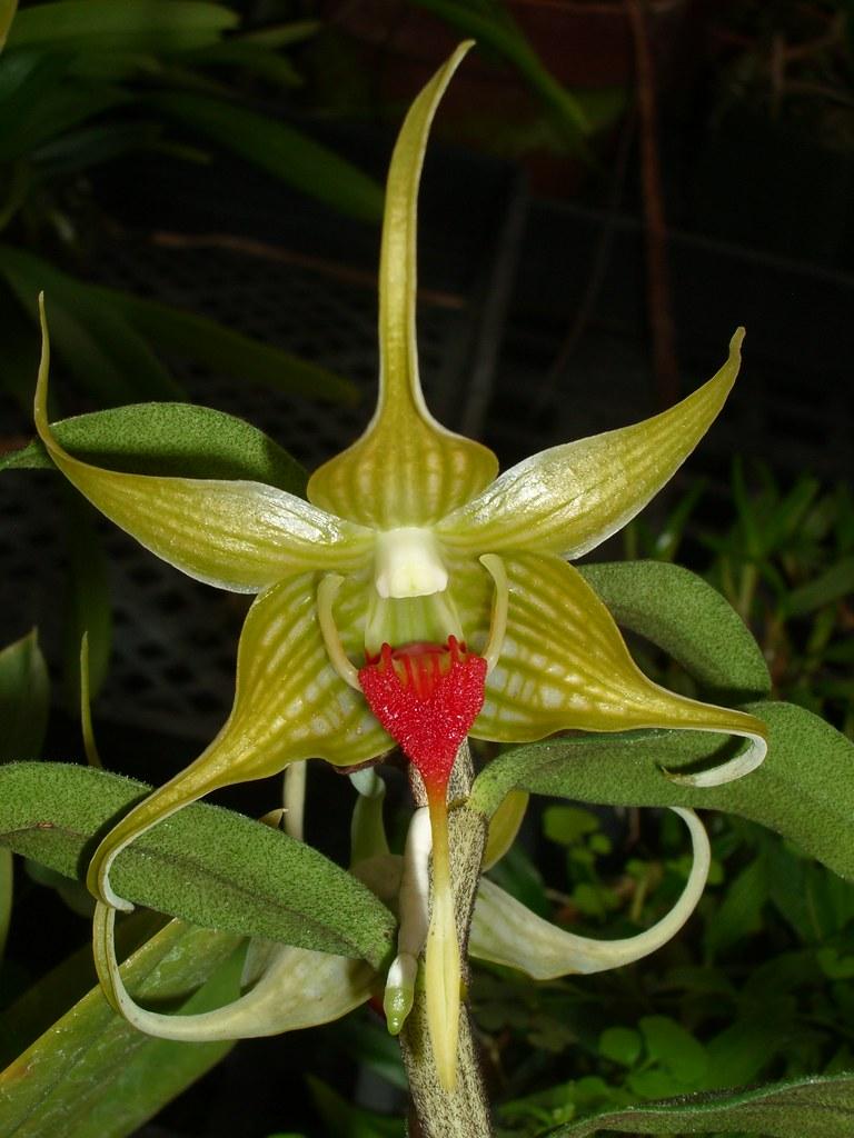 Dendrobium tobaense 2006-11-18 01