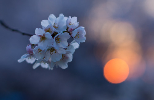 flowers japan tokyo places 桜 cherryblossom sakura nerima hanami 2012 さくら 花見 cherryblossomviewing hikarigaoka 光が丘 bentorode