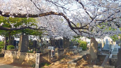 Yanaka sakura | by DozoDomo