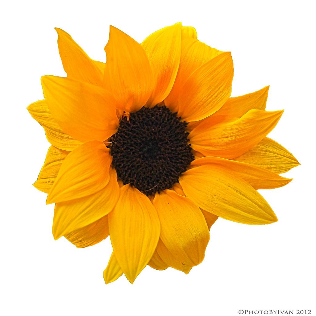 Sunflower On Transparent Explore On Thedigitalvisual Com