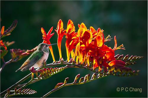 red summer flower bird garden hummingbird emerald annashummingbird crocosmialucifer thegalaxy pcchang flickrstruereflection1 rememberthatmomentlevel1 rememberthatmomentlevel2 jewelsinflight