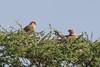Greater Kestrel, Falco rupicoloides arthuri by jwsteffelaar
