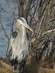 Great Blue Heron, Edwin B. Forsythe NWR, NJ, March 10, 2012