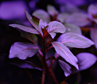 Ludwigia repens 'diamond red' | by KittyKat3756