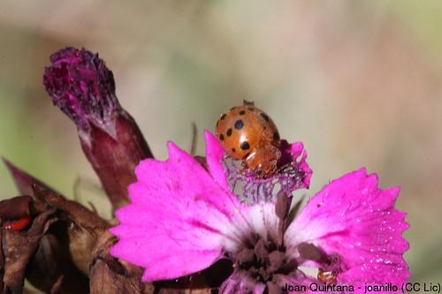 Subcoccinella 24-punctata | by Joan Quintana (joanillo)