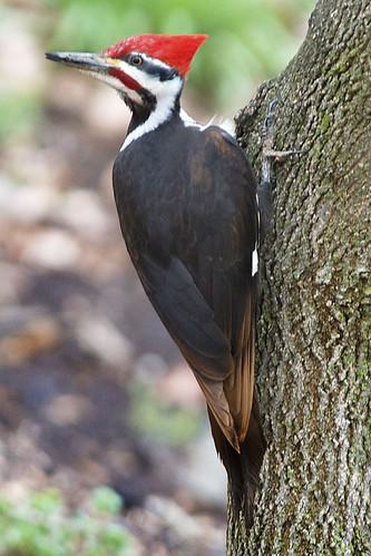 ngc npc dryocopuspileatus piwo specanimal malepileatedwoodpecker drypil photographybydavewendelken photobydavew largewoodpeckerwithredcrest pileatedwoodpeckerwithbrownfeathers