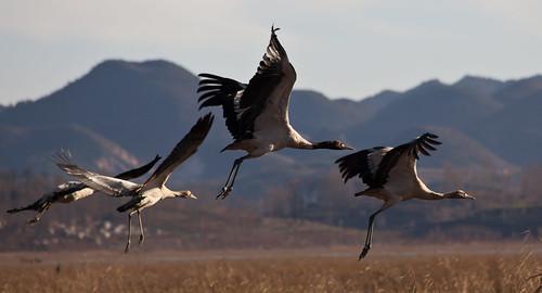 Black-necked Cranes taking flight