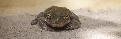 Cane toad / Aga-Kröte   by Missud