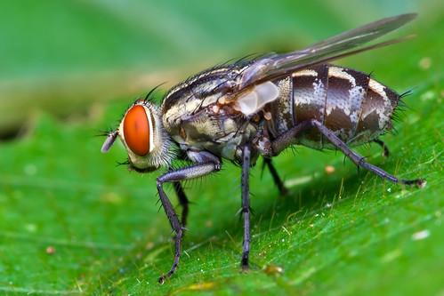 macro nature animal closeup fauna insect fly bugs k5 macrophoto serangga lalat diyflashdiffuser smcpentaxdfamacro100mmf28wr pentaxk5 hishammarmincom hishammarmin af160fcautomacroringflash