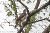 Cassin's Hawk-eagle (Aquila africana), Kumba to Mundemba road, Cameroon, 2012-03-31--112.jpg by maholyoak