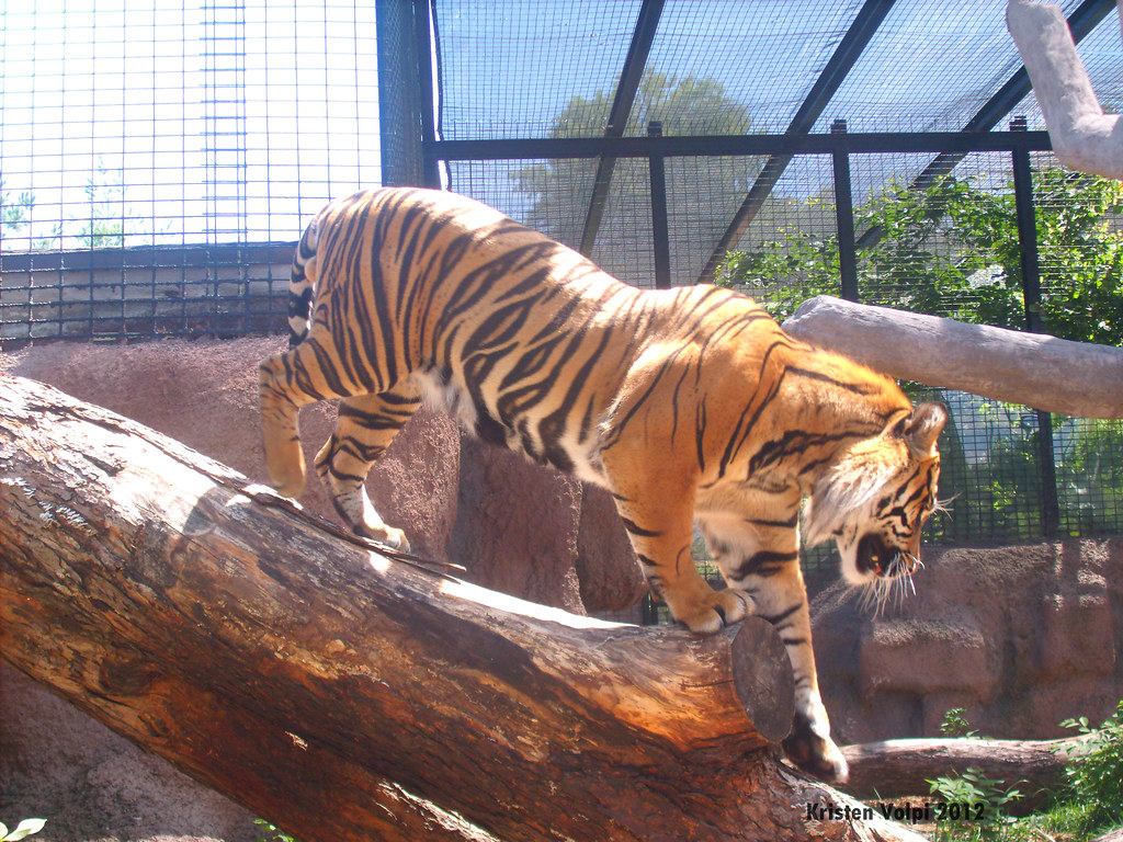 Climbing down | GE DIGITAL CAMERA Sumatran Tiger Topeka ...