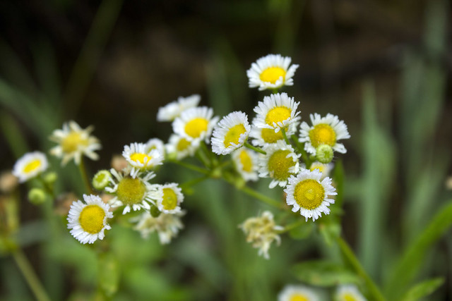 Erigeron strigosus, Waterloo area, Overton County, Tennessee