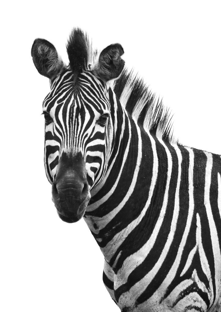 Zebra_0126