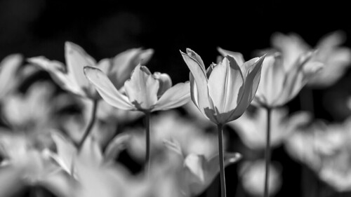 Tulips in Black&White