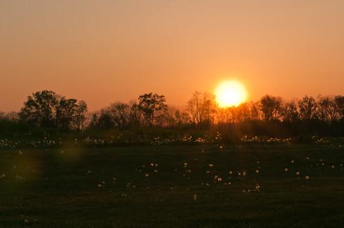 trees sunset sky orange field silhouette countryside glow pennsylvania pasture dandelions springtime odc ourdailychallenge