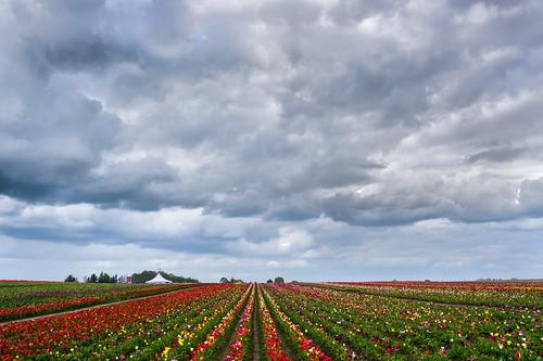 uscopyrightregistered2011 woodburn oregon unitedstates flowerscolors tulips clouds naturemasterclass weather storm color colorriot converginglines tulipfarm woodenshoetulipfarm fav10 fav20 fav30