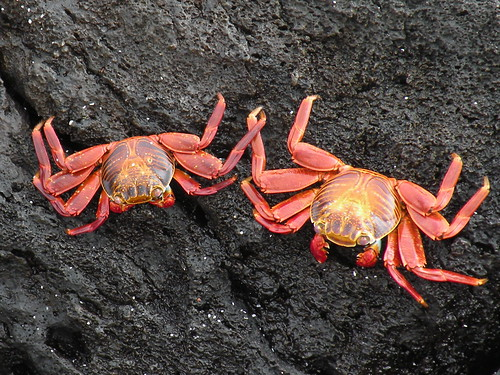 Sally Lightfoot Crabs (Grapsus grapsus) | by JRWhitaker1