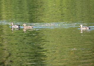 Ducks on the Rideau River