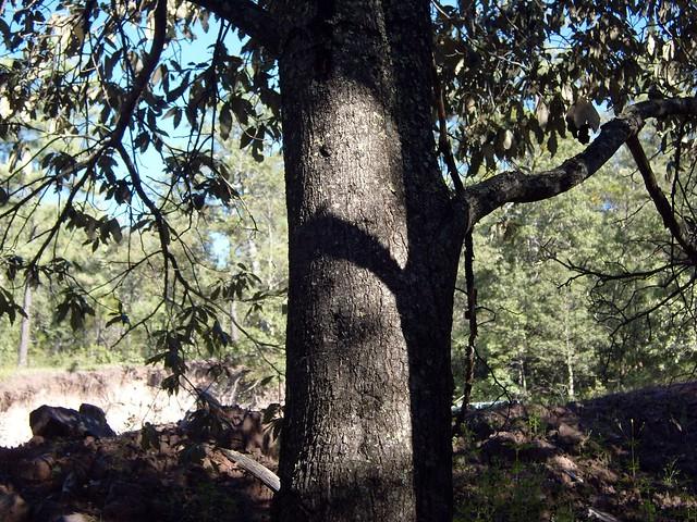 Quercus scytophylla Liebm. 1854 (FAGACEAE)