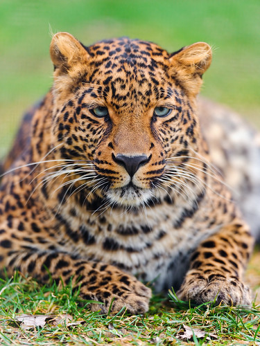 Young male leopard relaxing on the grass | by Tambako the Jaguar