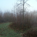 Young Chestnut coppice