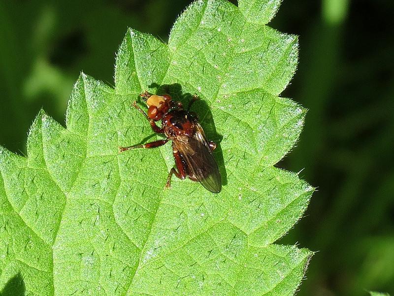 Fly - Sicus ferrugineus