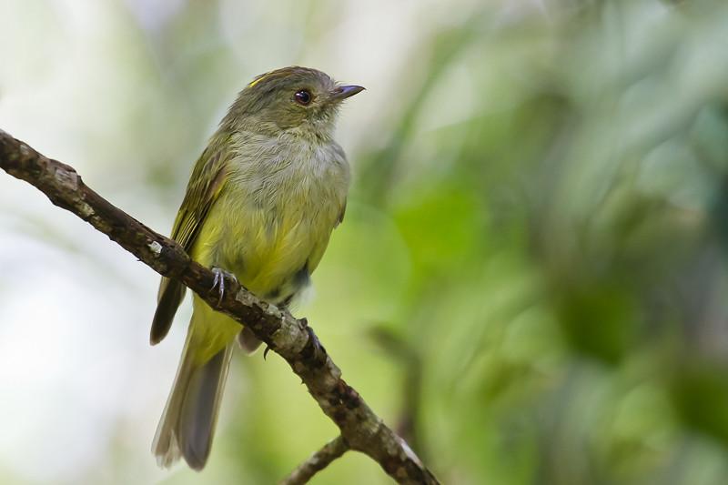 Serra do Mar Tyrant-Manakin - Brazilian Birds - Species # 033