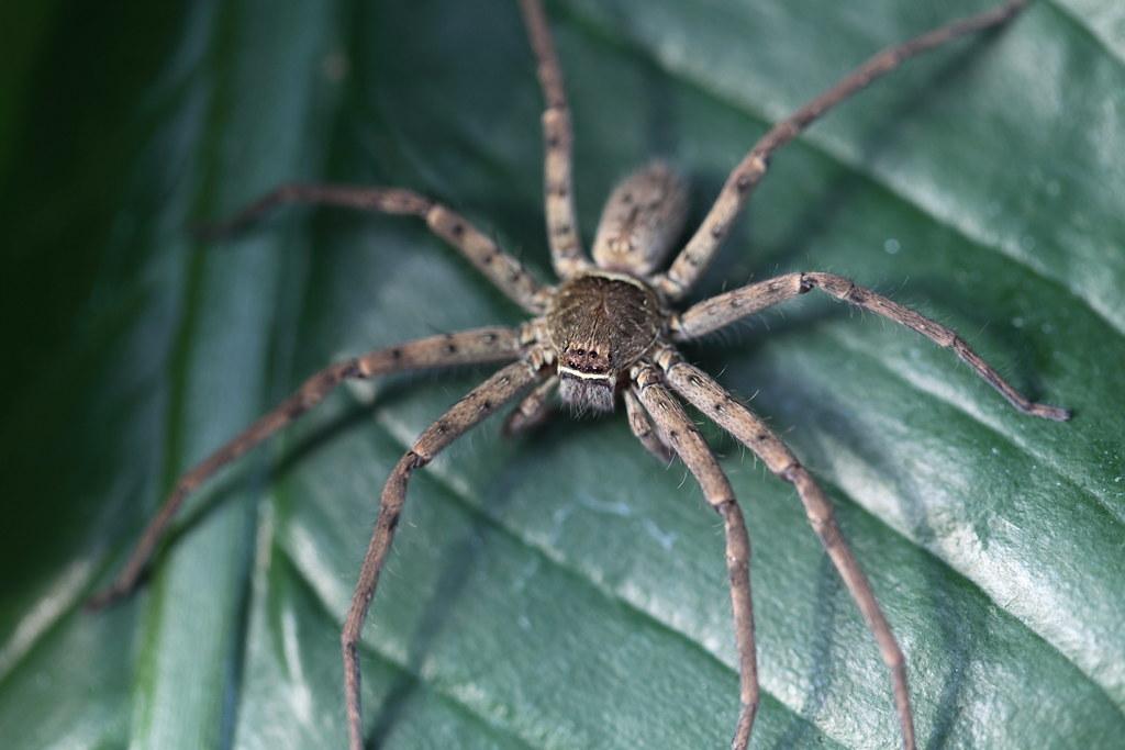 Huntsman spider (Sparassidae) | Townsville, QLD, Australia | Flickr