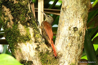 Streak-headed Woodcreeper | by Gmo_CR
