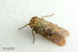 Planthopper (Calyptoproctus sp.) - DSC_7250