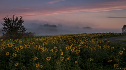 fog sunrise farm newengland ct sunflower ellington jclay