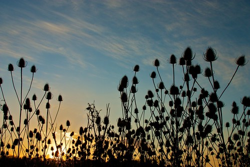 teasel teazel teazle dipsacus sunset flower fiore