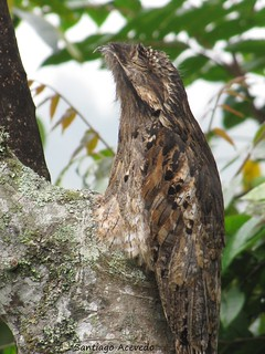 Nyctibius griseus - Common Potoo | by Santi Acevedo