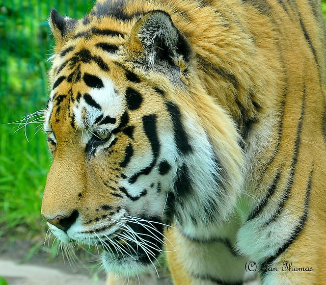 Tiger Looking So Sad ....