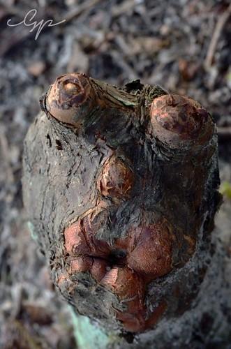 louisiana cypressknees cypresstrees