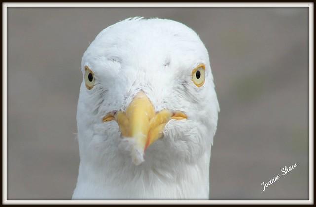 IMG_9928 Herring Gull Head n b raw