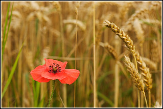 Field Poppy at harvest time. | by Linton Snapper