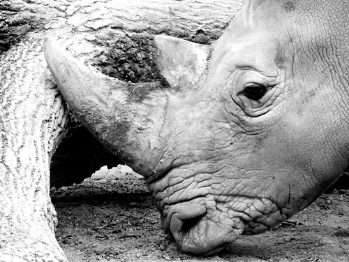 Rhino   by arcturus15
