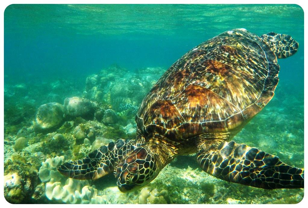 sea turtle apo island