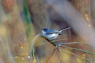 White-lored Gnatcatcher, Tehuantepec, Oaxaca, Mexico