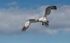 Northern Gannet by tickspics 