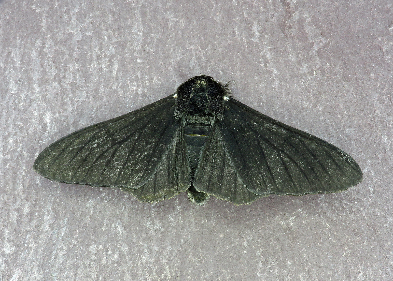 70.252 Peppered Moth - Biston betularia